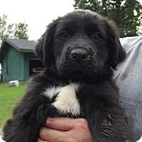 Adopt A Pet :: Feisty - Danbury, CT