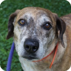Catahoula Leopard Dog/Shepherd (Unknown Type) Mix Dog for adoption in Eatontown, New Jersey - Leroy