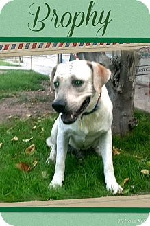 Labrador Retriever Mix Dog for adoption in Apache Junction, Arizona - Brophy