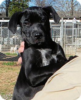 Labrador Retriever/Boxer Mix Puppy for adoption in Westport, Connecticut - *Pure Joy - PENDING