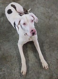 Great Dane Dog for adoption in York, Pennsylvania - Rabbit