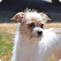 Adopt A Pet :: Bella - Tumwater, WA