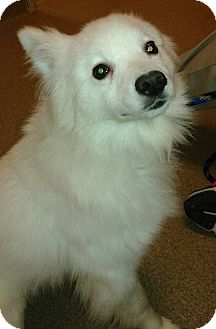 American Eskimo Dog Mix Dog for adoption in St. Louis, Missouri - Tara