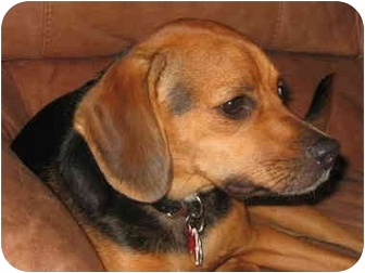 Beagle Dog for adoption in Long Beach, New York - Max