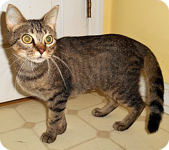 American Shorthair Cat for adoption in Chattanooga, Tennessee - Cheyenne