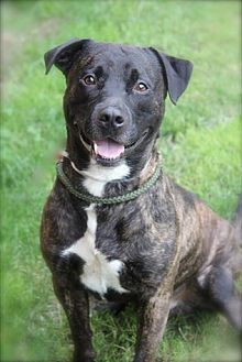 Plott Hound Mix Dog for adoption in Brookhaven, New York - Romeo