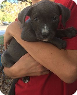American Pit Bull Terrier/Terrier (Unknown Type, Small) Mix Puppy for adoption in Concord, California - Juliet