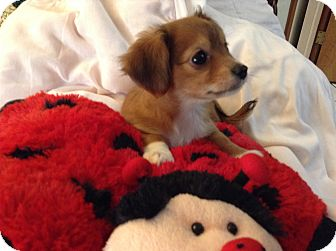 Dachshund/Chihuahua Mix Puppy for adoption in Pinellas Park, Florida - Princess BRD