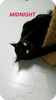 Domestic Shorthair Cat for adoption in Muskegon, Michigan - midnight