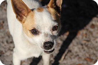 Chihuahua Dog for adoption in Sanford, Florida - Lobos