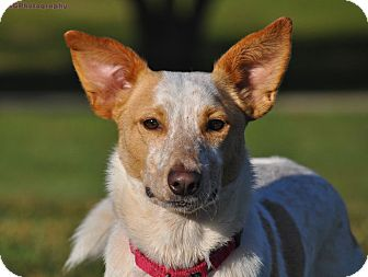 Blue Heeler Mix Dog for adoption in Seattle, Washington - Oliver, with a twist
