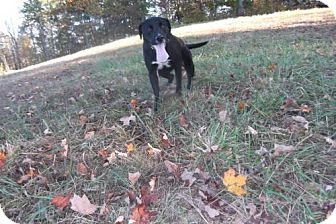 Labrador Retriever Mix Dog for adoption in Ashland, Kentucky - Dexter