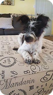 Shih Tzu/Fox Terrier (Wirehaired) Mix Puppy for adoption in Allentown, Pennsylvania - Patriot