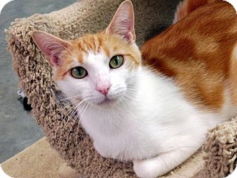 Domestic Shorthair Cat for adoption in Creston, British Columbia - Opal