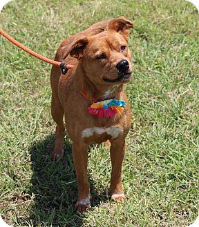 Beagle/Terrier (Unknown Type, Medium) Mix Dog for adoption in Lacey, Washington - Jordan