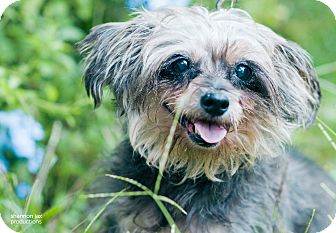 Yorkie, Yorkshire Terrier Mix Dog for adoption in Gainesville, Florida - Spunky