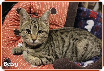 Domestic Shorthair Kitten for adoption in New Richmond,, Wisconsin - Betsy