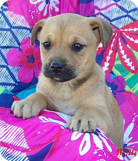 Shepherd (Unknown Type)/Akita Mix Puppy for adoption in Williamsport, Maryland - Jade (7 lb) Video!
