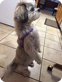 Shih Tzu Mix Dog for adoption in Eden Prairie, Minnesota - SAMMY