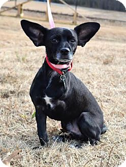 Chihuahua/Australian Cattle Dog Mix Dog for adoption in Westport, Connecticut - *Asher - PENDING
