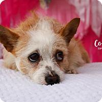 Adopt A Pet :: Cookie - San Antonio, TX