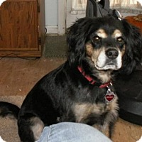 Cocker Spaniel/Border Collie Mix Dog for adoption in Toluca Lake, California - SPUNKY