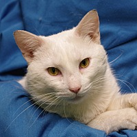 Domestic Shorthair Cat for adoption in Olean, New York - Caspian
