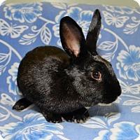 Adopt A Pet :: Mardi Gras - Chesterfield, MO