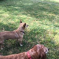 Dachshund/Dachshund Mix Dog for adoption in Queen Creek, Arizona - Chewie