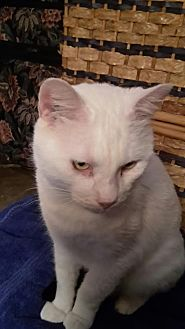 Turkish Van Cat for adoption in Houston, Texas - Toby (Turkish Van)