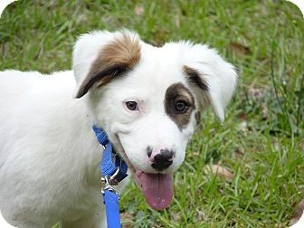 Clumber Spaniel Mix Puppy for adoption in Allentown, New Jersey - Brody