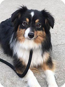Australian Shepherd Dog for adoption in St. Louis, Missouri - Tina