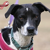 Rat Terrier Mix Dog for adoption in North Fort Myers, Florida - Myra