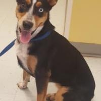Adopt A Pet :: Shiloh - Savannah, TN