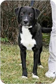 Labrador Retriever/Boxer Mix Dog for adoption in Osseo, Minnesota - Puddles
