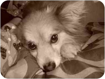 Pomeranian/Papillon Mix Dog for adoption in Foster, Rhode Island - Pooky...update