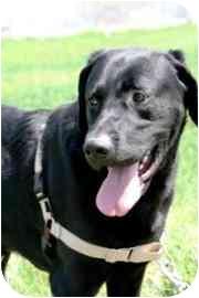 Labrador Retriever Mix Dog for adoption in Walker, Michigan - Riley