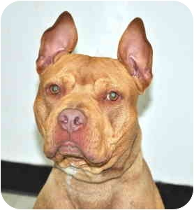 American Pit Bull Terrier Dog for adoption in Port Washington, New York - Rugby