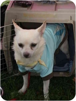 Chihuahua Mix Dog for adoption in London, Ontario - buddy