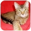 Photo 1 - Abyssinian Cat for adoption in San Diego, California - Venus