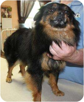 Pomeranian Mix Dog for adoption in Westport, Connecticut - Polly