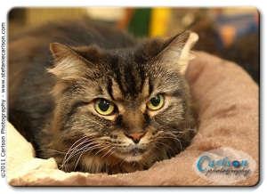 Maine Coon Cat for adoption in Yorba Linda, California - Kuro-Chan