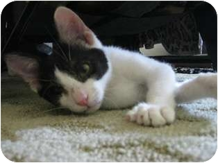 Domestic Shorthair Cat for adoption in Mesquite, Texas - Cy