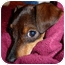 Photo 1 - Dachshund/Chihuahua Mix Puppy for adoption in Bellflower, California - Toby
