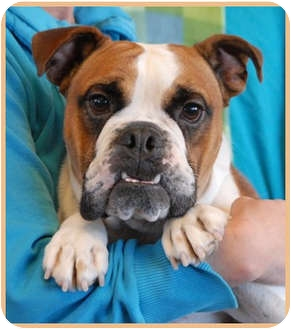 Bulldog Mix Dog for adoption in Las Vegas, Nevada - Diezel