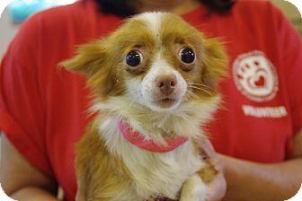 Chihuahua Dog for adoption in Elyria, Ohio - Francesca