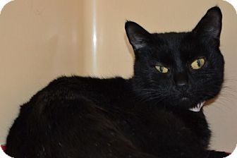 Bombay Cat for adoption in Elyria, Ohio - Marilyn
