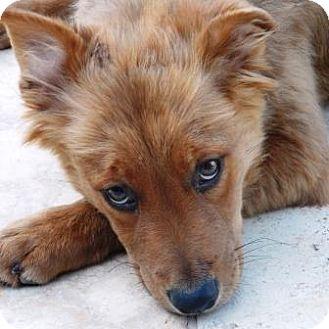 German Shepherd Dog/Cattle Dog Mix Puppy for adoption in Gilbert, Arizona - Addie