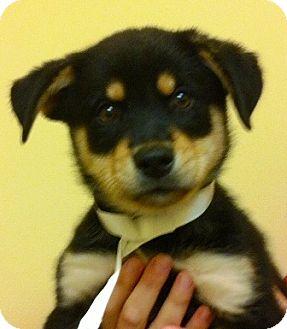 German Shepherd Dog/Australian Shepherd Mix Puppy for adoption in Oswego, Illinois - I'M ADOPTED Murphy