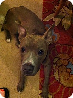 American Pit Bull Terrier Mix Dog for adoption in New York, New York - Buddy **URGENT**